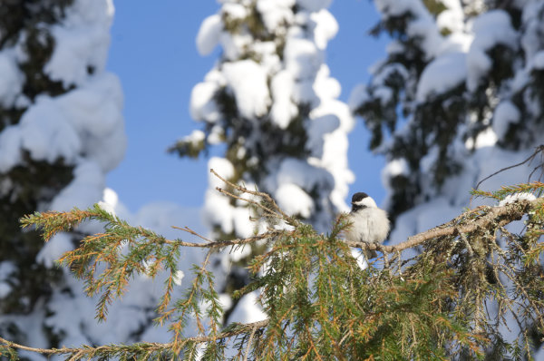 willow tit Finland